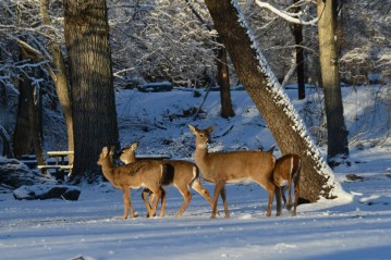 Deer Herd - Great Falls Park, Virginia