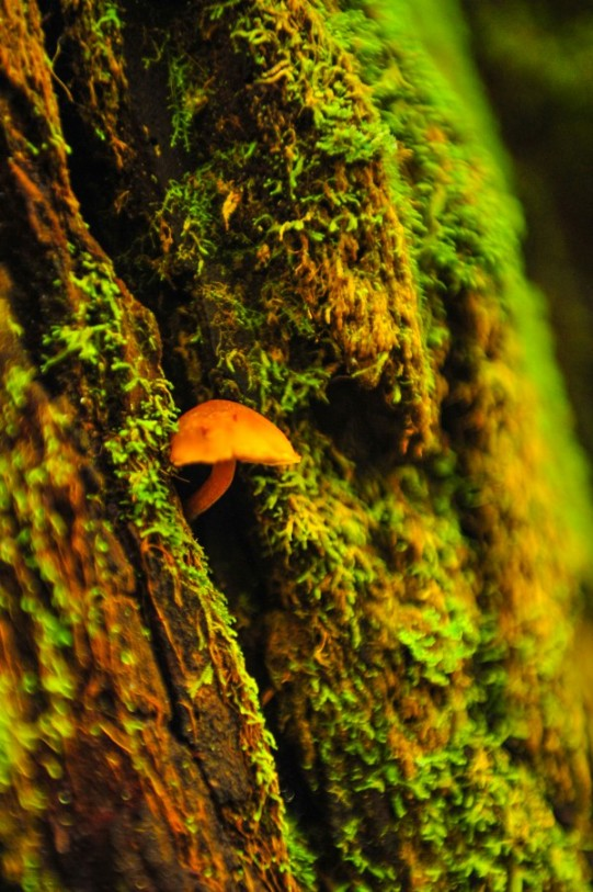 The Redwood Forest is a complex ecosystem: here a 1cm tall mushroom grows out of a 75 meter tall redwood tree