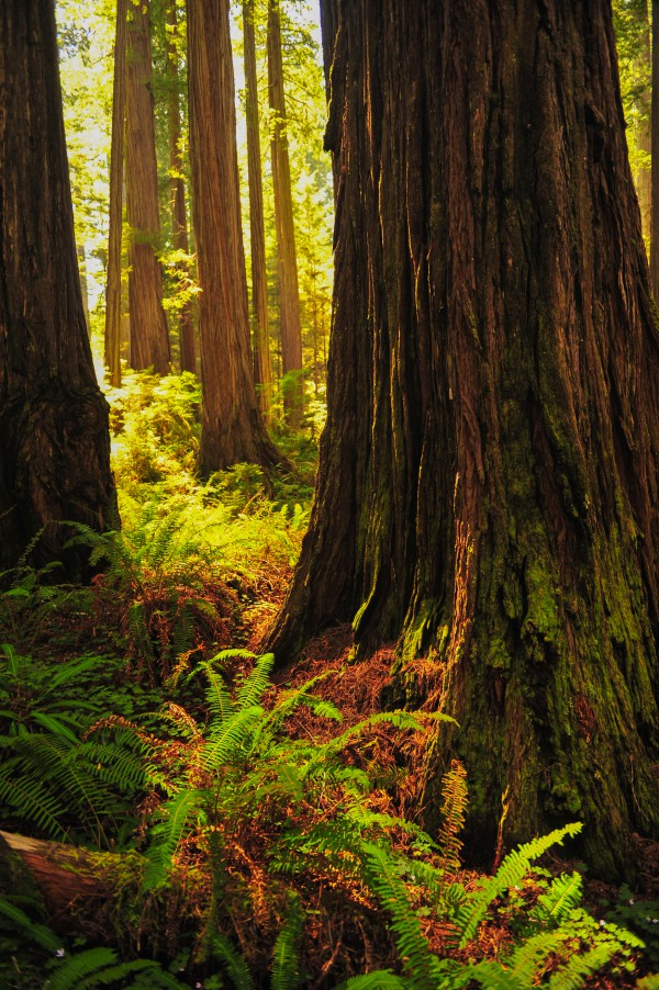 Jedidiah Smith Redwoods State Park, California