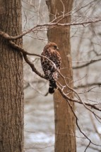 Eyeing the Potomac - Red Shouldered Hawk - Carderock Park, Maryland