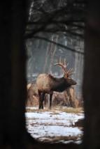 Bull Elk - Elk State Forest - Pennsylvania
