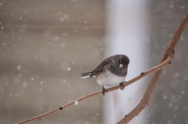 Curious Junco