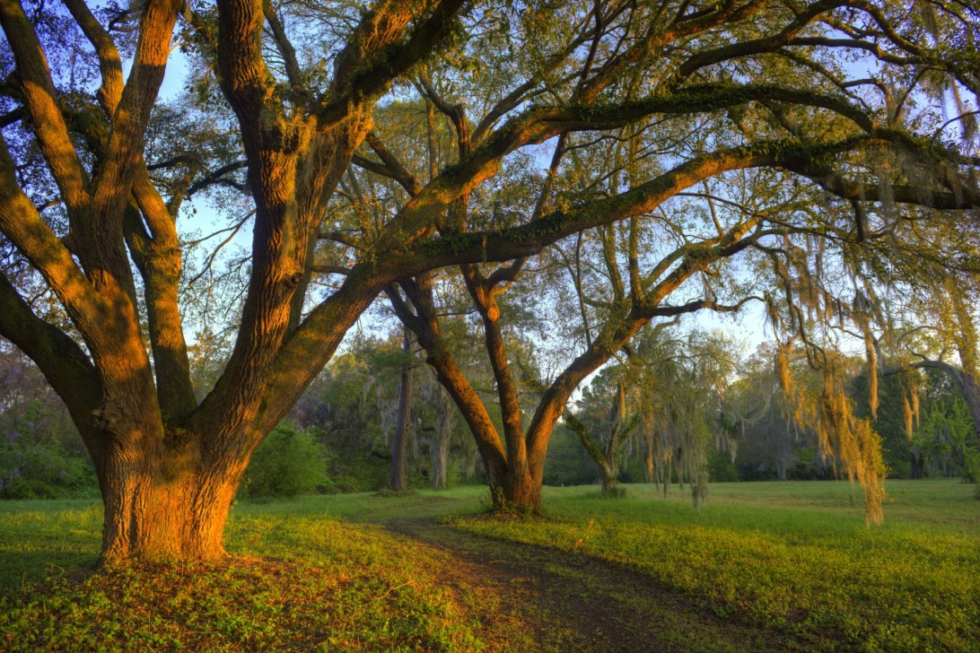 The sun's early rays paint the live oak trees at Charles Pickney National Historic Site