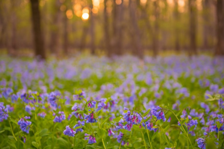 Bluebells at sunset in Bull Run Regional Park