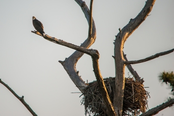 An Osprey guards it's nest at First Landing State Park in Virginia Beach