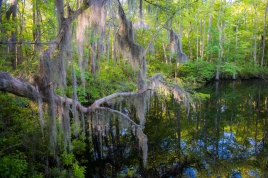 Not only is spanish moss rare in Viriginia, it is also at the extreme northern edge of its range here.