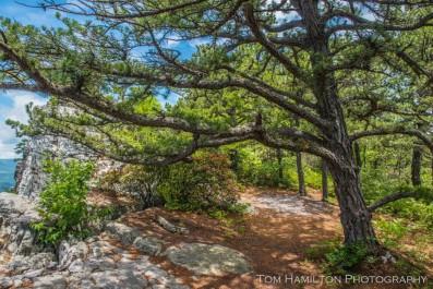"""Sheltering Pine"""
