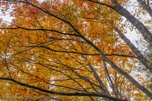 A colorful canopy of maple leaves hangs above a trail in Blackwater Canyon