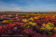 Vast meadows of blueberry bushes at Dolly Sods