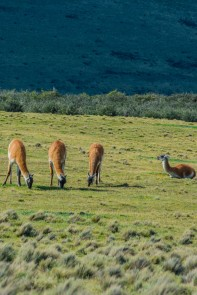 Guanacos, a type of llama is as common as deer is in North America. Ironically, the native deer species is endangered and extremely rare