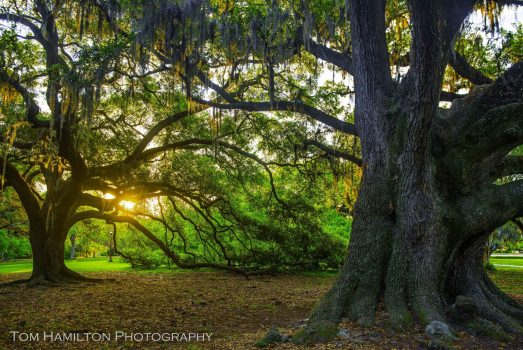 Early morning sunlight shinging through the oaks in New Orleans City Park
