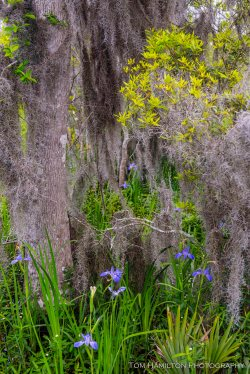 Louisiana Irises in the Bayou