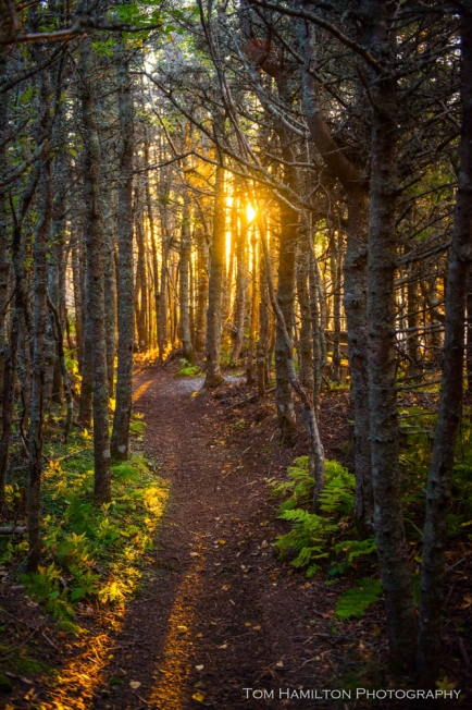 The sun's last rays filtering through the Spruces along Steve's Trail in Gros Morne