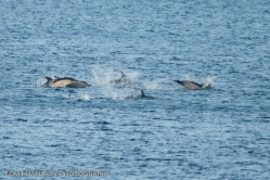 Porpoises in the strait separating Cape Breton Island from the mainland