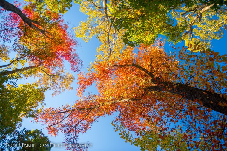 A canopy of Tupelo Trees is emblazoned in fall colors.