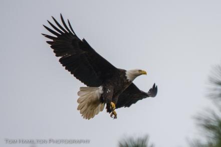 Bald eagles can be easily seen along major highways
