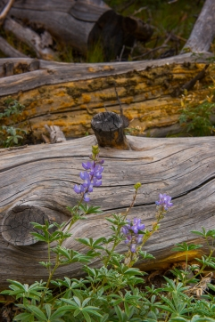 Lupines in the Sawtooth National Recreation Area