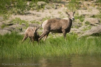 Bighorn Sheep grazing alongside the River of No Return