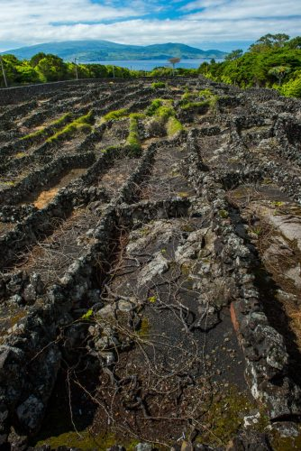 The residents of Pico devised a method of planting grape vines so unique that the area is now a UNESCO world heritage site. The vines are planted horizontally in enclosures to protect them from harsh mid-Atlantic winds. Thanks to the rich volcanic soil and cool summers, the area produces excellent wines.