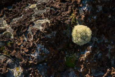 Reindeer Moss, named because it is typically eaten by reindeer (Caribou) is plentiful here.