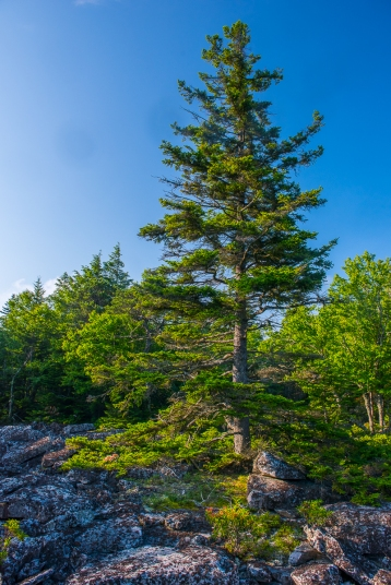 "A diverse forest on top of this ""dry"" mountain is host to trees that normally don't associate: Red Spruce, Table Mountain Pine, and Red Oak"