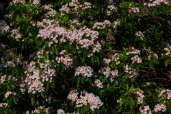 Blooming mountain laurel is everywhere in mid-June