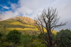 Juniper tree in the Guadalupe Mountains