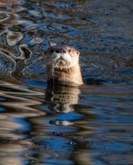 This river otter was spotted in a tributary to the Great Dismal Swamp.
