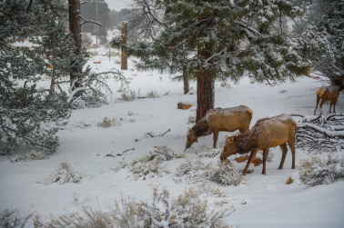Elk at Grand Canyon. While not native to Grand Canyon, elk are perfectly adapted to this kind of cold weather.