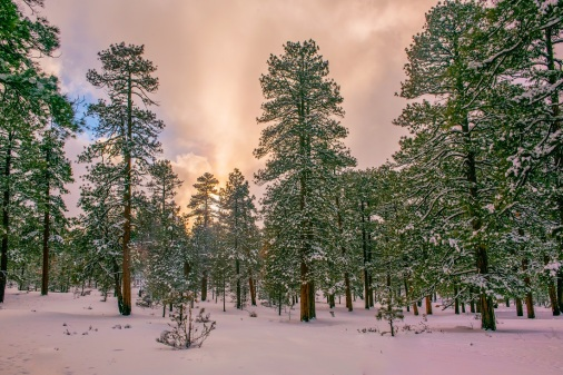 Ponderosa pine forest of the Kaibab Plateau in the snow